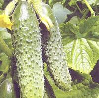РЕГИЯ F1 - семена огурца пчелоопыляемого 50 грамм, Moravoseed, фото 1