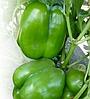 KS 04 F1 - семена перца сладкого, 1 000 семян, Kitano Seeds