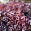 KS 101 - семена салата тип Батавия, 5 грамм, Kitano Seeds