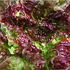 KS 155 - семена салата тип Батавия  5 грамм, Kitano Seeds