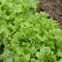 KS 190 - семена салата тип Батавия, 5 грамм, Kitano Seeds, фото 1