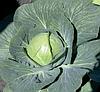 ПАСАДЕНА F1 - семена капусты белокочанной, 1 000 семян, Lark Seed