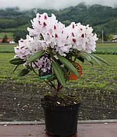 Рододендрон  Calsap , фото 1