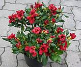 Рододендрон Baden-Baden низкорослый 2лет, фото 2