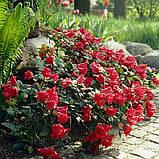 Рододендрон Baden-Baden низкорослый 2лет, фото 4