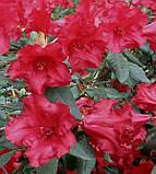 Рододендрон Baden-Baden низкорослый 2лет, фото 3