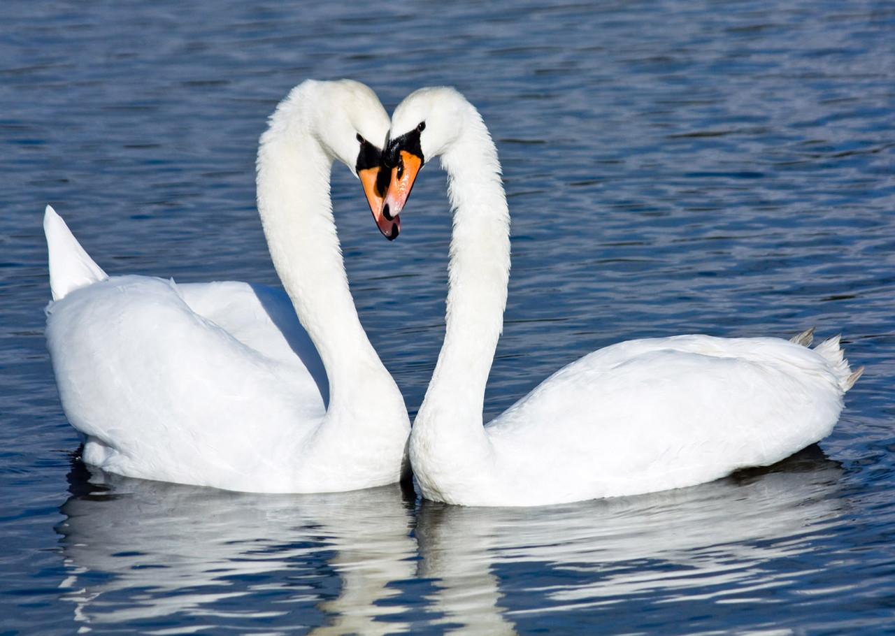 "Картина на стекле ""Пара белых лебедей"""