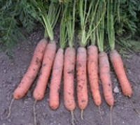 Краска 500г семена моркови Берликум, фото 1