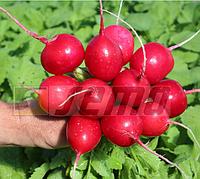 Кварта1 кг. семена редиса