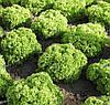 ЗЛАТАВА - семена салата тип Лолло Бионда дражированные 1 тис., SEMO