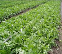 РОКЕТА - семена рукколы 50 грамм, SEMO