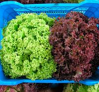 КАРМИНОВА - семена салата тип Лолло Бионда 1 000 семян, SEMO, фото 1