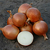 УНИВЕРСО F1 - семена лука репчатого 100 000 семян, Nunhems