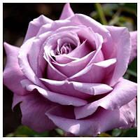 Роза чайно-гибридная Блю парфум осень