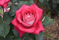 Роза чайно-гибридная ФБР