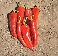 САМАНДЕР F1 - семена перца сладкого 1 000 семян, Nunhems