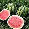 ВИКТОРИЯ F1 - семена арбуза тип Кримсон Свит 1 000 семян, Nunhems