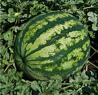 КРИСБІ F1 - насіння кавуна тип Крімсон Світ 1 000 насінин, Nunhems