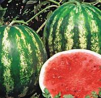 ТРОФІ F1 - насіння кавуна тип Крімсон Світ 1 000 насінин, Nunhems