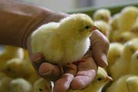 Обогрев брудера для цыплят, индюшат и перепелят