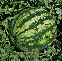 КРИСБИ F1 - семена арбуза тип Кримсон Свит, 1 000 семян, Bayer