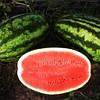 ЛЕДИ F1 - семена арбуза тип Кримсон Свит, 1 000 семян, Bayer