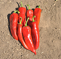 САМАНДЕР F1 - насіння перцю солодкого, 1 000 насінин, Bayer