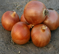 ПАНДЕРО F1 - семена лука репчатого, 100 000 семян, Bayer Nunhems