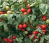 СИЛУЕТ F1 - семена томата, Syngenta