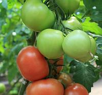 РАЛЛИ F1 - семена томата, Enza Zaden, фото 1