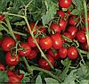 8504 F1 - семена томата, Lark Seed