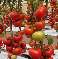 БЕЛЛЕ F1 - семена томата, Enza Zaden 500 семян