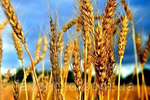 Семена озимой пшеницы и ячменя: 10 самых урожайных сортов