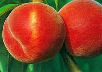 Саженцы персика Сан Крест