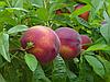 Саженцы персика Крест Хейвен