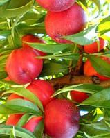 Саженцы нектарина Рубиновый 8