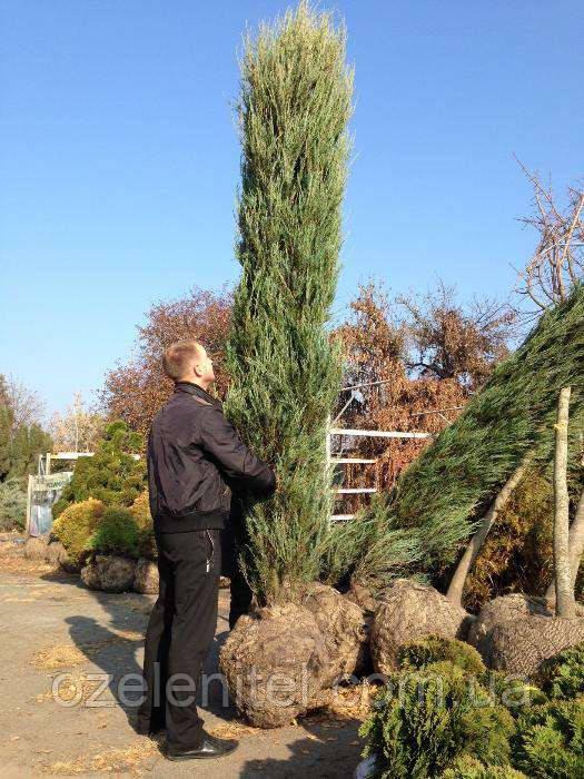 Можжевельник скальный 'Скайрокет'/ Juniperus scopulorum 'Skyrocket' 2.5м
