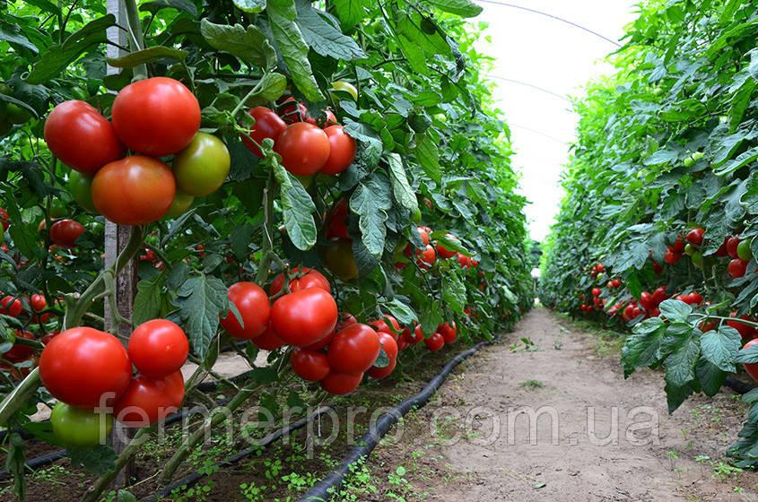 Семена томата Игидо F1 DE RUITER SEEDS 1000 семян