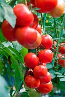 Семена томата Платус F1 500 семян DE RUITER SEEDS