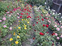 Саженцы роз: представлены сорта разных групп.
