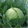 ПАРЕЛ F1 - семена капусты белокочанной, 2 500 семян, Bejo Zaden