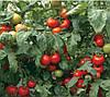 СИЛУЕТ F1 семена томата полудетерминантного, 500 семян, Syngenta