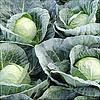 ТІАРА F1 - насіння капусти білоголової, 2 500 насіння, Bejo Zaden