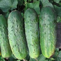 АКИЛИНА F1 - семена огурца партенокарпического, 500 семян, Bayer, фото 1