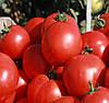 СКИФ F1 - семена томата детерминантного, 1 000 семян, Bayer