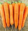 КОЛТАН F1 - семена моркови Нантес/Флакке (1,6-1,8), 100 000 семян, Bayer Nunhems