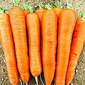 КОЛТАН F1 - семена моркови Нантес/Флакке (1,8-2,0), 100 000 семян,