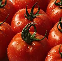 ОТРАНТО F1 - семена томата детерминантного, 1 000 семян, Bayer, фото 1