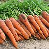 ЕЛЕГАНС F1 - насіння моркви Нантес (1,4-1,6), 100 000 насінин, Bayer