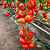 ЧИНТО F1 - насіння томату індетермінантного, 1 000 насінин, Rijk Zwaan